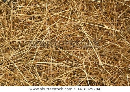 Secar amarelo grama primavera prado neve Foto stock © vavlt