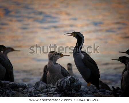 sptted shags on a coastal rock stock photo © wildnerdpix