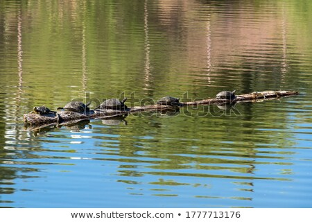 Turtles on a log Stock photo © erbephoto