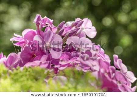 Phlox in sunlight stock photo © entazist