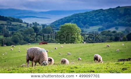 sheeps grazing Stock photo © adrenalina