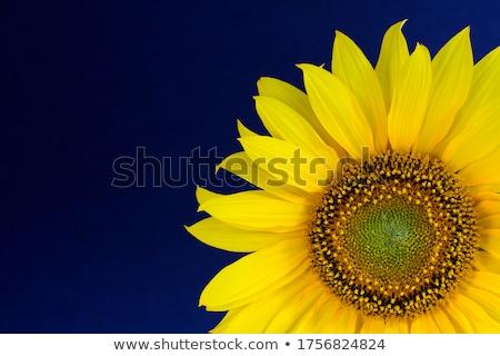 Sunflower on a blue background stock photo © GeniusKp