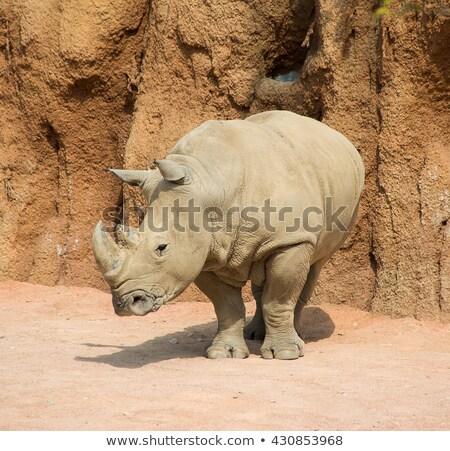 Starring White rhino in black and white in the Kruger National Park, South Africa. Stock photo © simoneeman