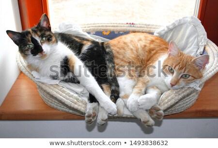 Cute · небольшой · кошек · фото · улыбка - Сток-фото © simply