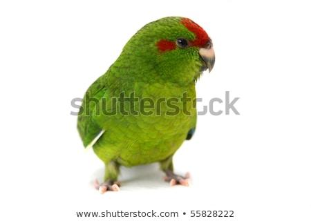 Zielone studio papuga żółty domowych białe tło Zdjęcia stock © cynoclub