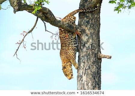 Leopárd fa lefelé park dél Afrika Stock fotó © simoneeman