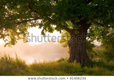 Alto carvalho céu blue sky árvore madeira Foto stock © njnightsky