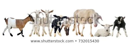 Cabra criança grupo fazenda ovelha animal Foto stock © cynoclub