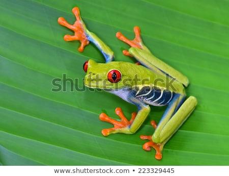 Stock fotó: Piros · szemek · levelibéka · éjszaka · esőerdő · Belize