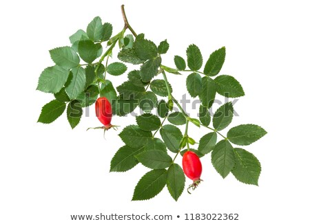 White dog rose, Rosa canina, hanging branch Stock photo © AlessandroZocc