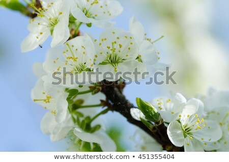 plum blossoms iii stock photo © craig
