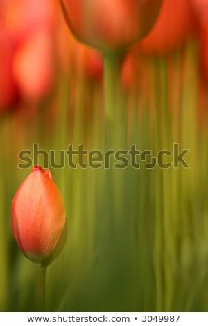 Daffodil цветы Blur иллюстрация цветок природы Сток-фото © colematt