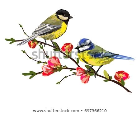 Muhteşem baştankara kuş pembe çiçekli kiraz Stok fotoğraf © manfredxy