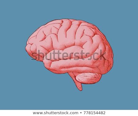 Testa organo cervello umano vista laterale vintage colore Foto d'archivio © pikepicture