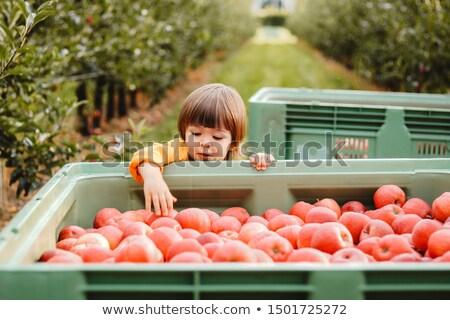 Cute мало мальчика саду яблоко Сток-фото © Lopolo