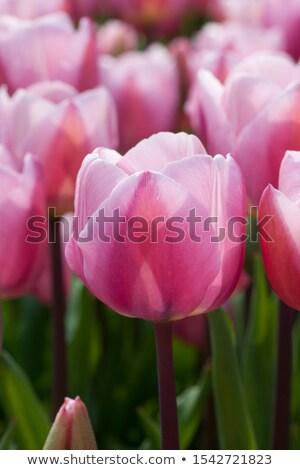 Floraison tulipes parterre de fleurs jardin de fleurs Pays-Bas rouge Photo stock © dmitry_rukhlenko
