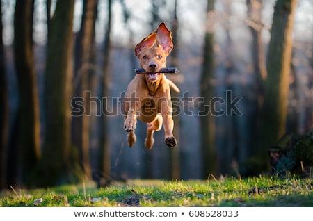 running hunting dog Stock photo © phbcz