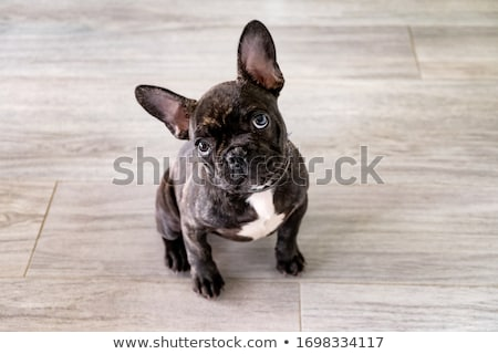 Stockfoto: Bulldog · puppy · twee · cute · geïsoleerd · witte