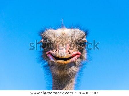 Ostrich Gossip Stock photo © macropixel