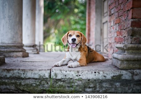 Hunting Beagle Standing in Leaves Stock photo © mybaitshop