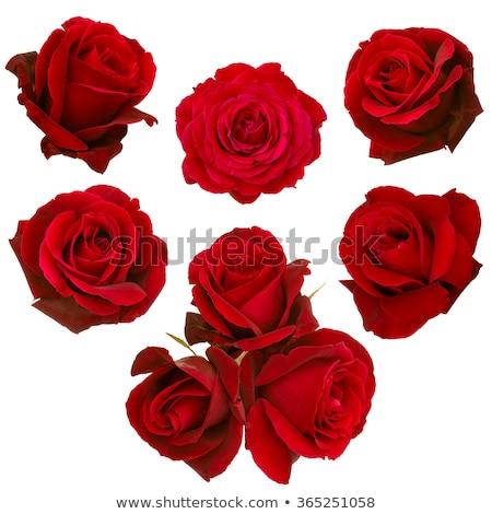 Foto stock: Conjunto · rosas · vermelhas · isolado · branco · belo · rosa · vermelha