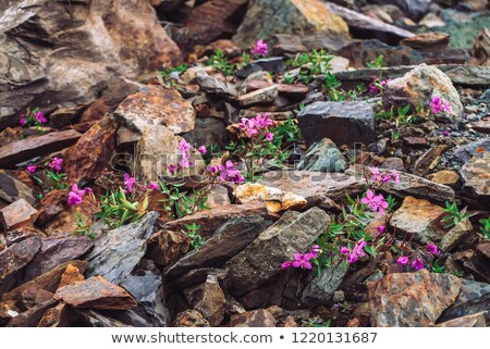 krokus · groeiend · vroeg · voorjaar · wild · paars - stockfoto © taviphoto