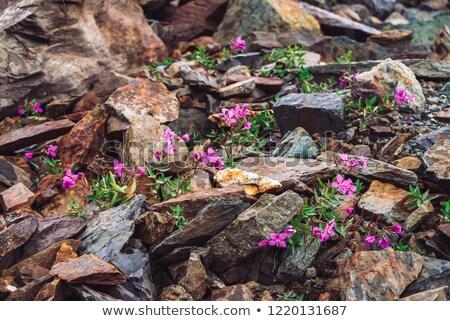Flores silvestres crescente pedras montanha cedo primavera Foto stock © taviphoto
