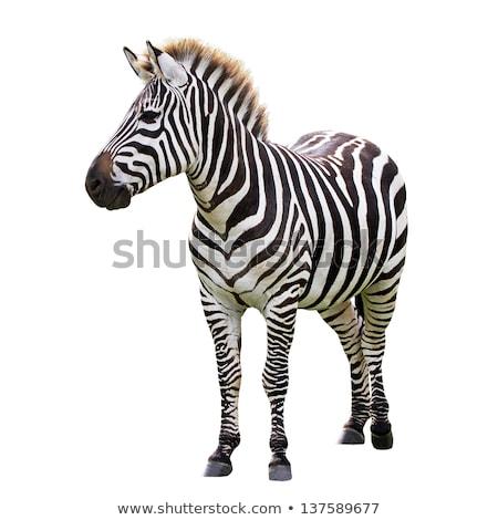 zebra isolated stock photo © tilo