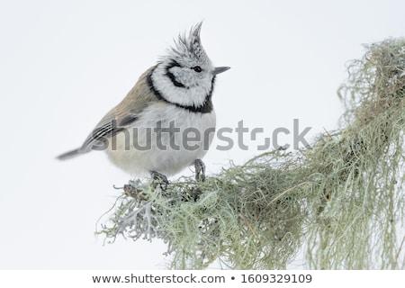 Tit lasu charakter ptaków Zdjęcia stock © ivonnewierink