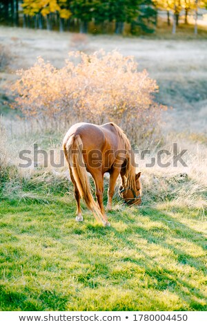Bay horse against autumn wood Stock photo © vavlt