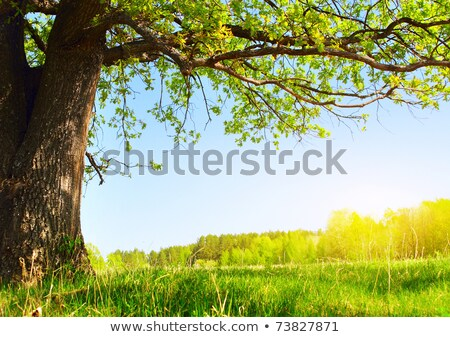 Chêne arbres vert prairie printemps jour Photo stock © Fesus