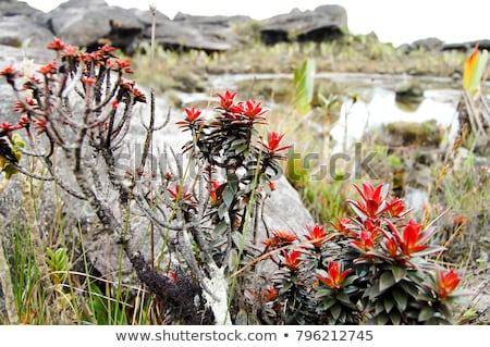 Roślin liści zielone tropikalnych piękna srebrny Zdjęcia stock © Mariusz_Prusaczyk