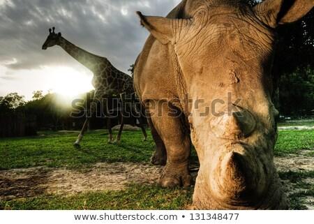 Güney Afrika doğa kafa hayvan zürafa çalı Stok fotoğraf © njaj