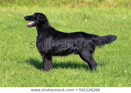 Typical  Flat Coated Retriever in the garden Stock photo © CaptureLight