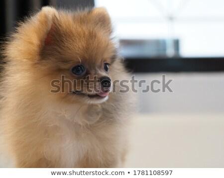 два щенки коричневый мех иллюстрация природы Сток-фото © bluering