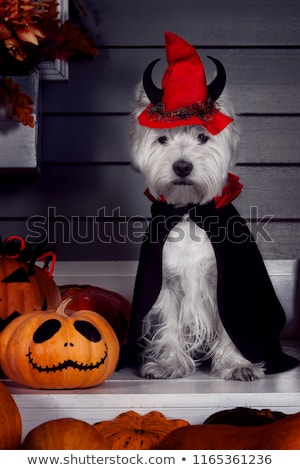 puppy west highland white terrier and haloween Stock photo © cynoclub