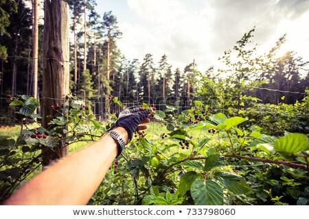 Adam yemek böğürtlen bisiklete binme yolculuk orman Stok fotoğraf © blasbike