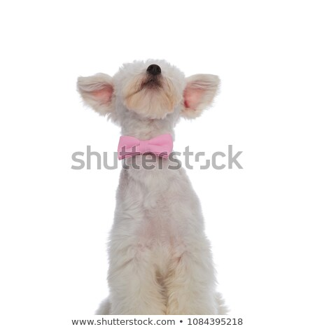 funny seated bichon wearing pink bowtie looks up stock photo © feedough