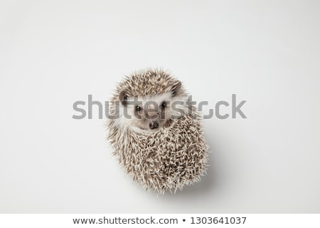cute grey hedgehog rests on its back on spikes stock photo © feedough