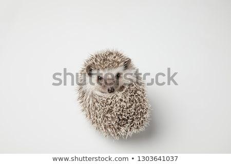 Cute grijs egel Maakt een reservekopie ontspannen dier Stockfoto © feedough