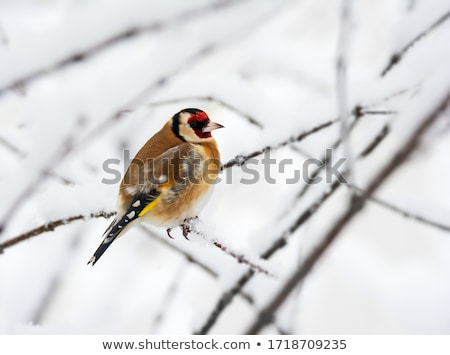European goldfinch sitting on a snow covered tree branch Stock photo © manfredxy