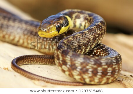 juvenile aesculapian snake on tree stump Stock photo © taviphoto