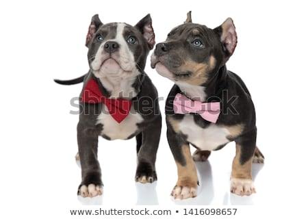 カップル · 愛らしい · アメリカン · 子犬 · 着用 · 木製 - ストックフォト © feedough