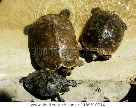 tortoises on waters edge Stock photo © clearviewstock
