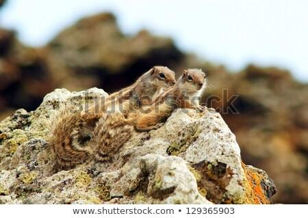 Chipmunk on the ground Stock photo © Elenarts