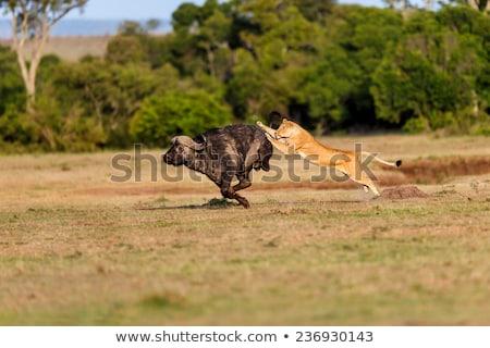 África · león · caza · sabana · jirafa · puesta · de · sol - foto stock © ajlber
