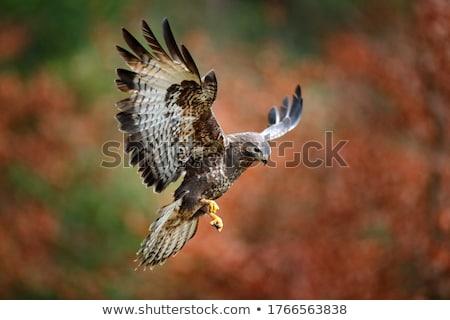 ノスリ 草原 鳥 緑 イーグル ストックフォト © mobi68