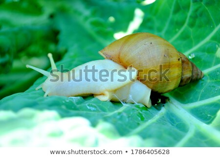 Snail and savoy cabbage leaf Stock photo © BSANI