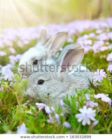 White Bunny Rabbit Outdoors in Grass Stock photo © tobkatrina
