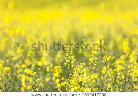 Stock photo: rape flowers at field